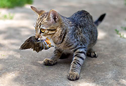 Outdoor Cat Killing a Bird