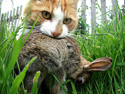 Outdoor Cat Killing a Rabbit